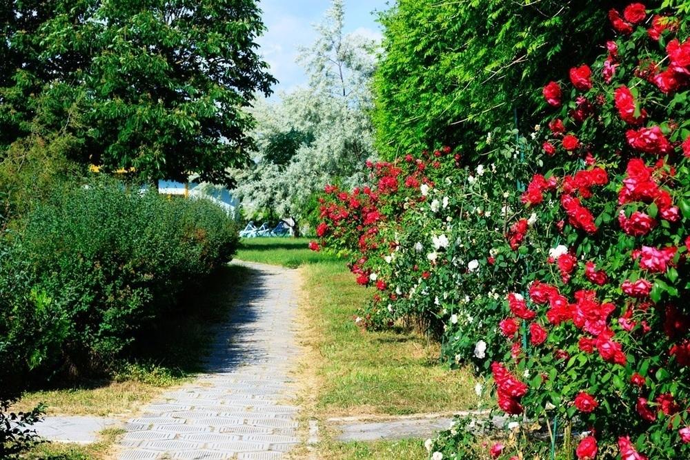 На Пионерском проспекте в Анапе зацветут шесть тысяч роз