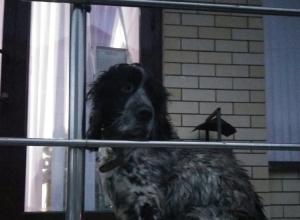 В Анапе на крыльце офиса уже вторые сутки спаниель ждет хозяина