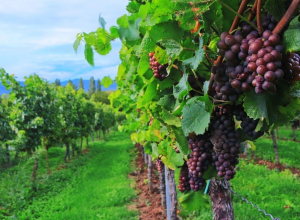 В середине 70-х Анапа давала стране по 40 тысяч тонн винограда