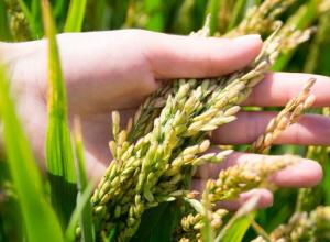 Из битвы за миллион тонн кубанского риса Анапа вовремя вышла