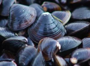 Учёные обнаружили сахалинского моллюска в Чёрном море