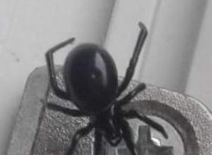 Яд паука из Анапы в 15 раз сильнее яда гремучей змеи