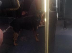 Крик души: в общественном транспорте Анапы собаки «шныряют» по салонам