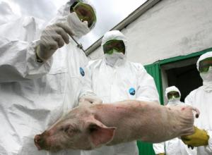 Африканская чума может стать причиной заражения свиней в Анапском районе