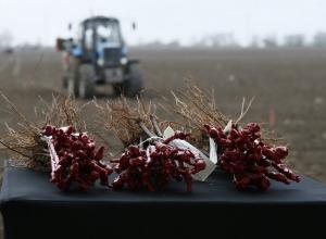 В районе Анапы высадят более четырех миллионов саженцев винограда