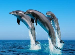 Дельфины, резвящиеся на берегу Бугазской косы под Анапой, шокировали отдыхающих
