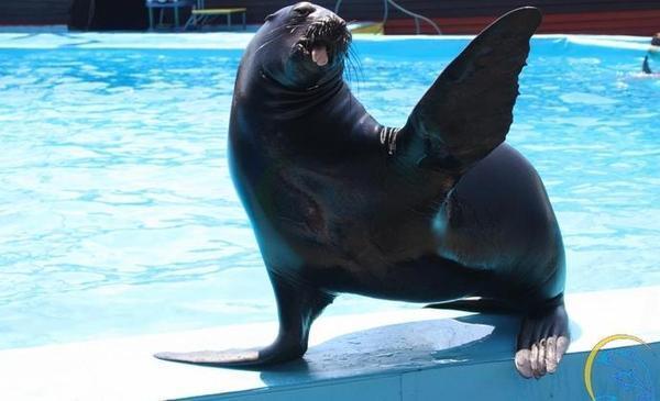 Морской котик, пропавший из анапского дельфинария,сбежал в Грузию