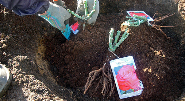На Пионерском проспекте в Анапе похитили саженцы роз