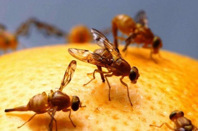 В соседних с Анапой городах Геленджике и Новороссийске нашли смертельно опасную муху