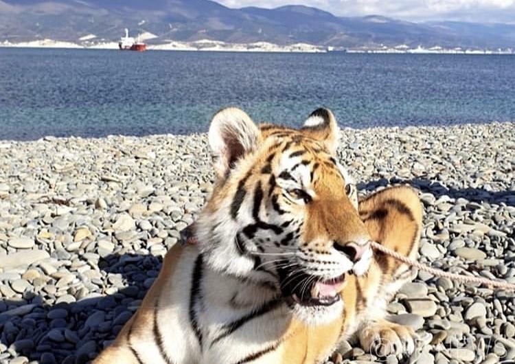 Тигра на верёвочке выгуливали на пляже соседнего с Анапой Новороссийска