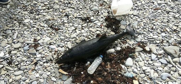 На Черноморском побережье продолжают гибнуть дельфины