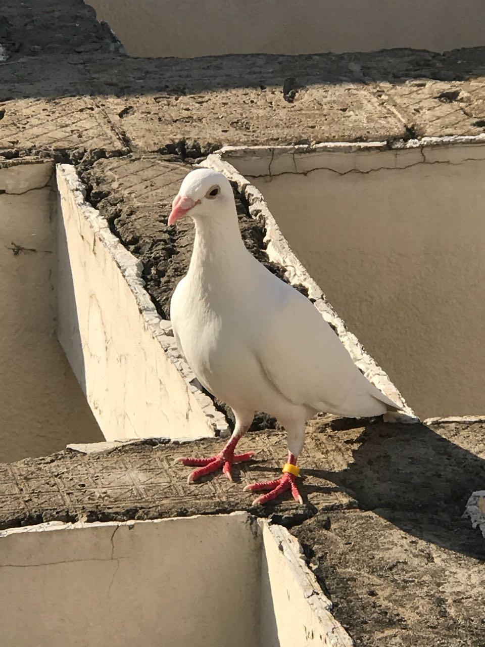 На одну из крыш в Анапе прилетел почтовый голубь