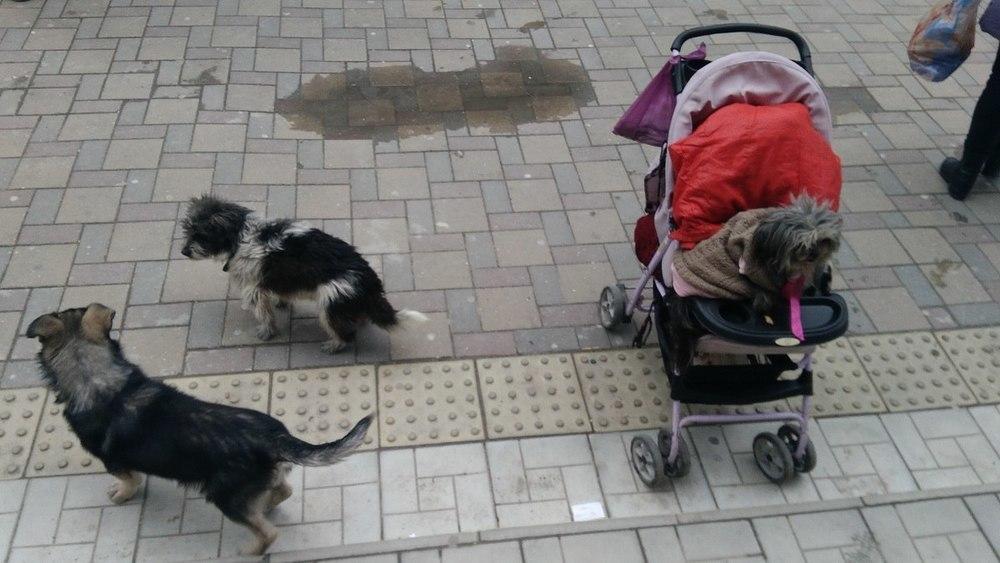 «Дама с собачками»: как попрошайка с дворняжкой в коляске стала «визитной карточкой» Анапы
